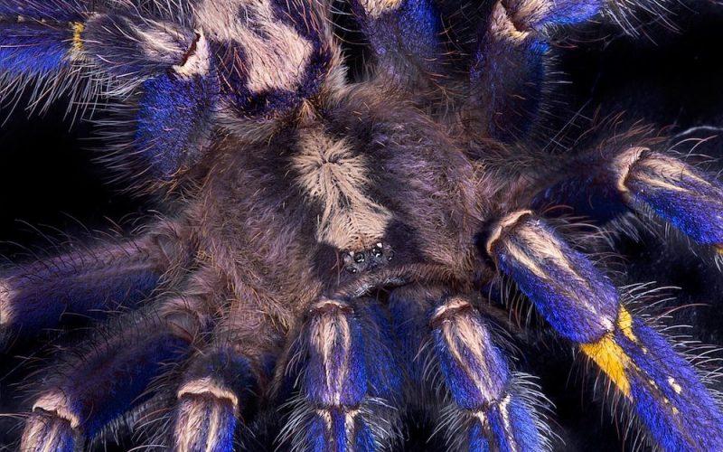 gooty sapphire ornamental tarantula 1000x1200 800x500 - Blue Tarantula Hair Inspires Nonfading Color Pigment