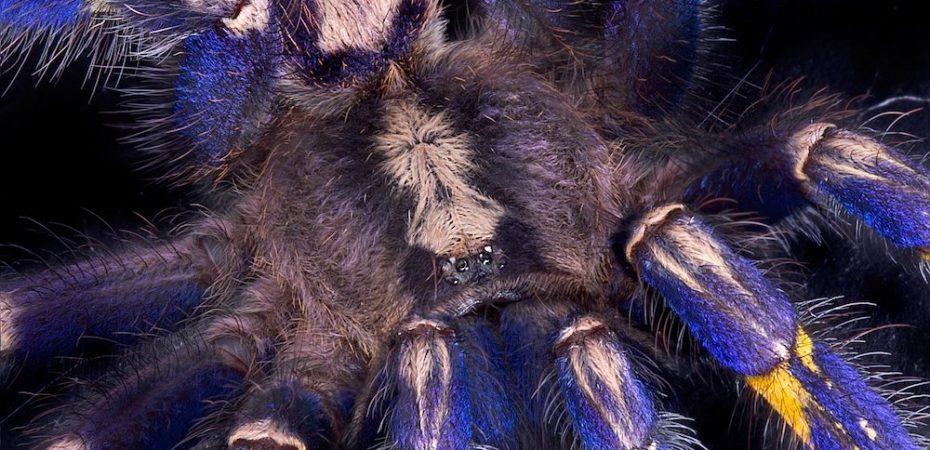 gooty sapphire ornamental tarantula 1000x1200 930x450 - Blue Tarantula Hair Inspires Nonfading Color Pigment