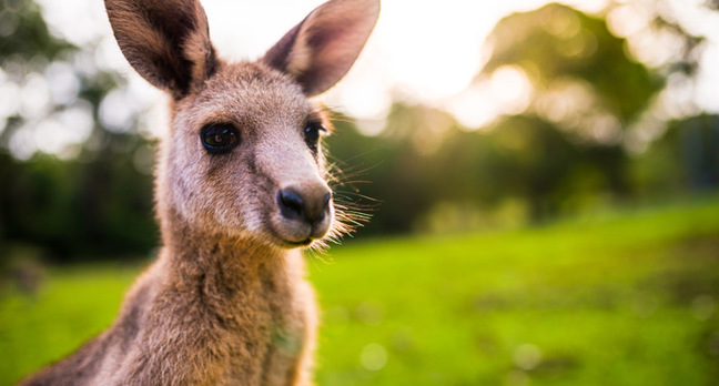 kangaroo teaser - Blunder down under: self-driving Aussie cars still being thwarted by kangaroos