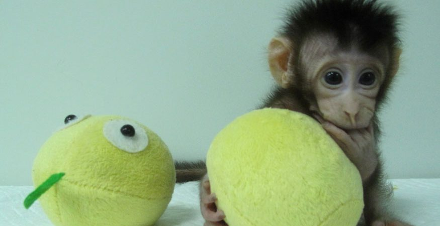 cloned monkey reuters 875x450 - Chinese Scientists Break Key Barrier by Cloning Monkeys