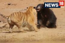 Watch: A female sloth bear takes on a male Bengal Tiger​