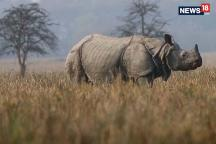 Watch: Tiny Indian Sanctuary Sees Increase in One-Horned Rhinos